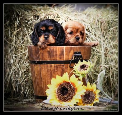 Elevage Luckylou chiot cavalier king charles