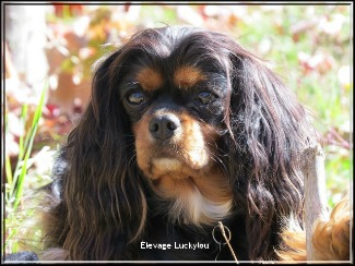 Elevage Luckylou cavalier king charles Mini